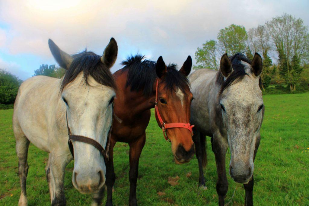 Irish Horses during my Ireland working holiday visa