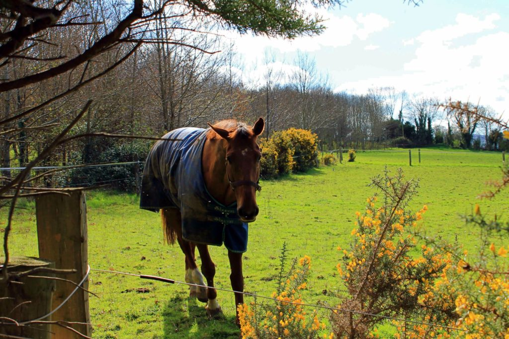 Horse in field - working with horses in Ireland