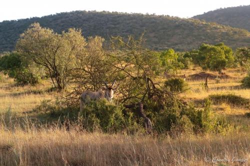deer in African bush