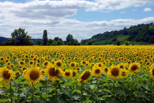 sunflower field beneath blue cloudy sky