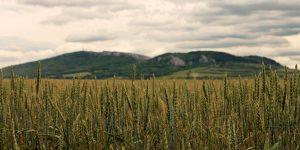 wheat fields in front of small mountain range in South Moravia, Czech Republic