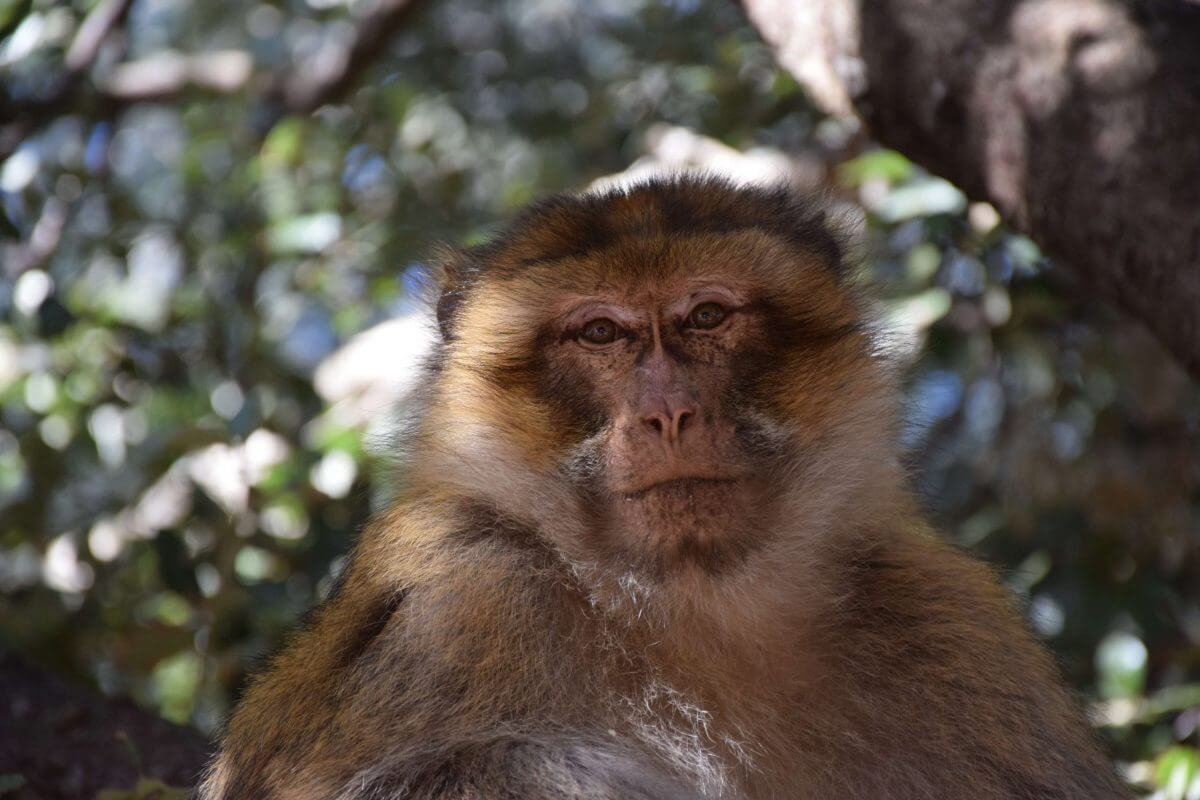 Monkeys in Ifrane Morocco