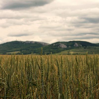 south moravian wheat fields